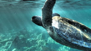 Turtle swimming in the waters of Galapagos' Floreana Island
